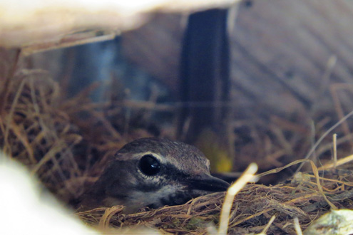 Grey Wagtail on Nest