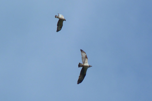 Osprey and Buzzard
